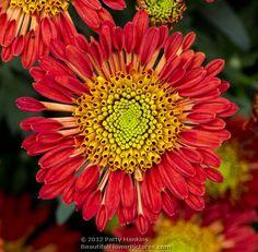 Encino - spoon tip chrysanthemum © 2012 Patty Hankins - Mana vietne Japanese Chrysanthemum, Chrysanthemum Flower, Beautiful Butterflies, Beautiful Flowers, Apartment Plants, Flower Images, Red Flowers, Garden Inspiration, Flower Decorations