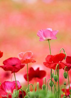 Pretty poppies bloom through the gloom My Flower, Wild Flowers, Beautiful Flowers, Poppy Flowers, Summer Flowers, Gif Rose, Jolie Photo, Plantation, Mother Nature