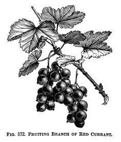 Fruiting Branch of Red Currant ~ Free Printable Vintage Clip Art (black and white version)
