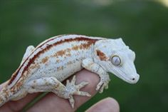 Gargoyle gecko this color/pattern