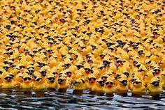 rubber ducky parade :)