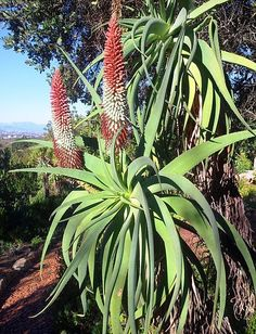 Aloe speciosa (Tilt-head Aloe) is a generally single-stemmed, tall succulent growing up to 10 feet m) that carries its massive rosettes.