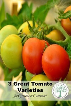 No space for a large garden? NO problem! Grow in containers! Here are 3 great varieties of tomatoes that grow great in containers! The Homesteading Hippy