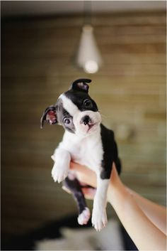 I have one of these. His name is Caleb. They are so rambunctious and full of fun. His big brother is a beautiful boxer.