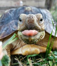 New No Cost Turtles Pet baby Concepts Turtles live mainly in water. They'll need an aquarium of at least 29 gallons, with a screened top Cute Tortoise, Tortoise Habitat, Tortoise Turtle, Cute Baby Animals, Animals And Pets, Funny Animals, Cute Turtles, Baby Turtles, Sea Turtles
