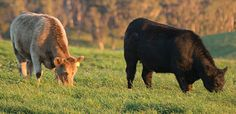 Cleaver's beef and lamb comes from certified organic farms across Australia. Our farms are free range and managed by family farmers. Organic Beef, Organic Farming, Beef Farming, Farms, Families, Places To Visit, Australia, Meat, Animals