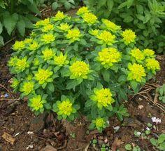 Euphorbia Polychroma.  Euphorbia polycroma Gulltörel  HÖJD: 50 cm  BLOMNING: Maj-Juni  VÄXTPLATS: Sol-halvskugga. Lättodlad i de flesta väldränerade jordar. Klarar torka bra.  UTSEENDE: Lysande gulgrön. Gröna blad. Röd höstfärg. EGENSKAPER: Välformade tuvor. Vacker kantväxt, i rabatt och större stenparti. Giftig mjölksaft. HÄRDIGHET: B – Härdig PLANTERINGAVSTÅND: 30 cm