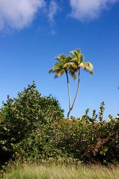 Doble Coconut Palm unique in the world BARACOA CUBA