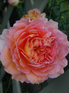 English rose 'Abraham Darby' – English Rosa – Le Jardin du Pic Vert – Famous Last Words Daffodil Flower, Cactus Flower, My Flower, Exotic Flowers, Purple Flowers, Pansies, Daffodils, Yellow Roses, Pink Roses