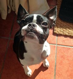 Peggy the Boston Terrier