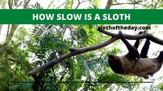 Why Are Sloths Slow? Why Do Sloths Move So Slow? Sloths, Garden Sculpture, Lemur, Sloth
