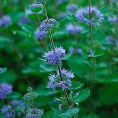 Sunshine blue bluebeard Latin name: Caryopteris incana 'Jason' Zone Cottage Garden Plants, Garden Shrubs, Landscaping Plants, Landscaping Ideas, Front Yard Plants, Plant Zones, Deer Resistant Plants, Plant Guide, Fine Gardening