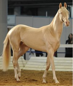 Akhal Teke- would love to have a horse like this. for now, Sparkle says she'll be glad to fill in as my Akhal teke! Most Beautiful Horses, All The Pretty Horses, Animals Beautiful, Rare Horses, Wild Horses, Akhal Teke Horses, Breyer Horses, Golden Horse, Cutest Animals