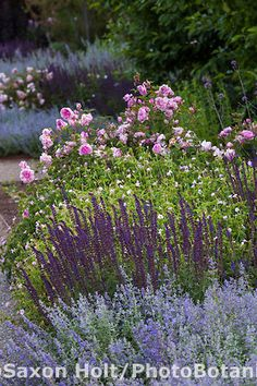 Perennial border with purple flowering sage, Salvia nemorosa 'Caradonna', Catmint and roses