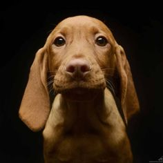 Gordon the Vizsla! ©Csanad Kiss on There are few things cuter than a Vizsla puppy face! Weimaraner, Vizsla Puppies, Cute Puppies, Cute Dogs, Dogs And Puppies, Vizsla Dog, Dachshunds, Doggies, Beautiful Dogs