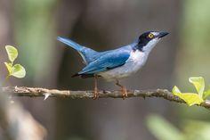 saíra-de-chapéu-preto - Nemosia pileata (Boddaert, 1783) --{ Birds }--