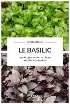 All about basil: sowing, planting, watering, size garden gardening potager melon