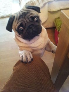 Pug sees that you've been hiding snacks!