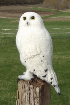 Snowy Owl Sculpture Handmade needle Felted Art by WeeWoolyWhimsies