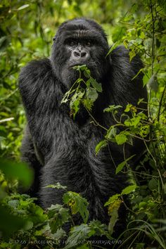 I guess I am pretty lucky a lot of people had to share their seat with this Mountain Gorilla |from Virunga, Rwanda. He doesn't look to friendly to me.