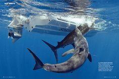 Shark attacks caught billfish