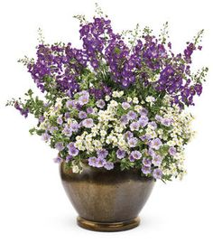 Berry Burst container recipes from Proven Winners.  Thriller Plant: Angelface® Blue Summer Snapdragon (Angelonia angustifolia);  Spiller Plants: Superbells® Miss Lilac (Calibrachoa hybrid)  and Sunsatia® Coconut (Nemesia hybrid) http://emfl.us/faHd