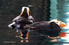 Two puffins swim in Alaska. ©Photo copyright by Marty Nelson. Photographer website: http://martynelsonphotoart.wix.com/mn-photo-art