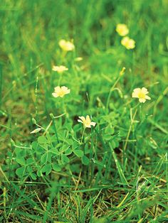 Weed Identification Guide  Oxalis  Type: Broadleaf perennial  Size: To 20 inches tall  Where it grows: Sunny or shady landscape, lawn, or garden areas  Appearance: Light green leaves that look like clover and cup-shape yellow flowers in summer and fall  Control: Mulch garden areas in spring to prevent it; pull plants by hand or spray with a post-emergence herbicide in spring or fall.