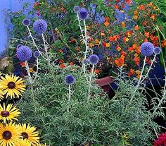 Echinops Ritro - Blue Globe Thistle $3.50 Box in front of house