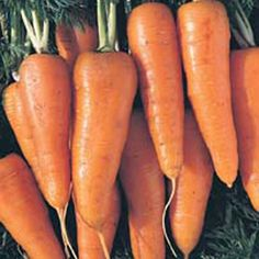An extremely reliable, early variety, which produces medium-sized carrots. Very tasty and ideal for deep-freezing.