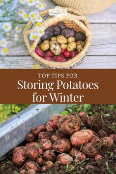 Top Tips for Storing Potatoes for Winter #storingpotatoes #winterpotatoes #harvestingpotatoes