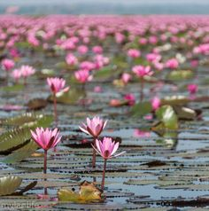 Guide to visiting the Red Lotus Sea, Udon Thani, Thailand #Redlotuslake #Isaan #Thailand #travelguide #Udonthani