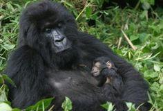 Where To Go On A Gorilla Trek In 2017