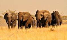 Elephants can spot storms from 150miles away!