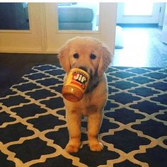 Astonishing Everything You Ever Wanted to Know about Golden Retrievers Ideas. Glorious Everything You Ever Wanted to Know about Golden Retrievers Ideas. Cute Puppies, Cute Dogs, Dogs And Puppies, Cute Babies, Doggies, Cute Baby Animals, Animals And Pets, Funny Animals, Retriever Puppy