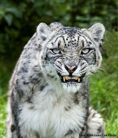 snow leopard He looks angry! Big Cats, Cool Cats, Cats And Kittens, Siamese Cats, Beautiful Cats, Animals Beautiful, Big And Beautiful, Animals And Pets, Cute Animals