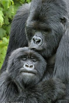 Kigoma the silverback gorilla // Loving embrace: Kigoma kisses the head of a female after mating with her