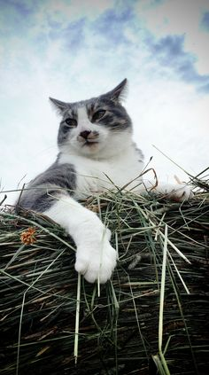 Leo. King of the haystack.