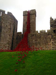 Poppies at Caernarfon castle