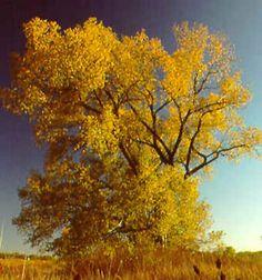 Valley Cottonwood