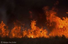 Fire flying by Nilanjan Das. Black drongos swoop close to the flames picking off insects fleeing the blaze. A deliberate fire lit by the Indian forest department to burn off the elephant grass and encourage new growth.