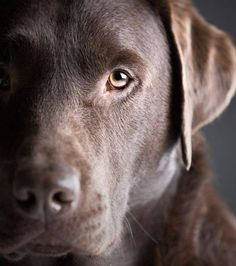 The ultimate Labrador Retriever names page. Popular male and female black, yellow and chocolate lab names by the hundreds. Beautiful Dogs, Animals Beautiful, Cute Animals, Beautiful Pictures, Stunningly Beautiful, Cute Puppies, Cute Dogs, Dogs And Puppies, Doggies