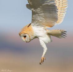 Barn Owl by Rob Cross, via 500px