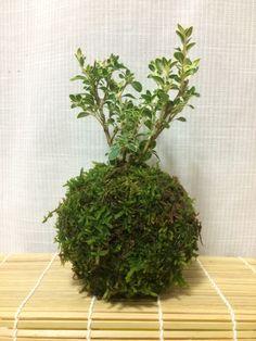 白丁花苔玉
