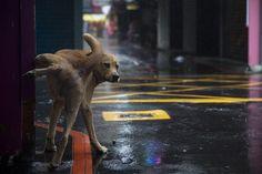 Dog in Taipei: cm ed 12 Christophe Jacrot, Rain Umbrella, Romance, Mundo Animal, New Perspective, Taipei, Hong Kong, Tokyo, Creatures