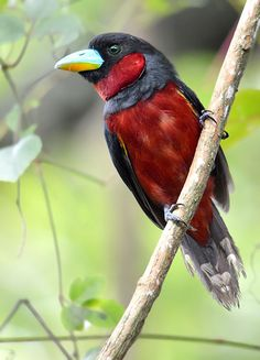 Reflections of Wings and Inspiration--another view of the broadbill.