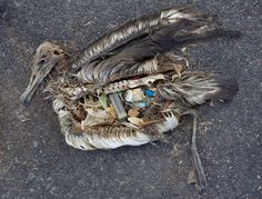The unaltered stomach contents of a dead albatross chick photographed on Midway Atoll National Wildlife Refuge in the Pacific in September 2009 include plastic marine debris fed the chick by its parents. Fish and Wildlife Service/Chris Jordan