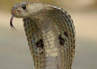 Pictures, video and audio of Indian Cobra also known as Naja naja. Find images, photos, movies and sounds of Indian Cobra (Naja naja) at the Encyclopedia of . Top 10 Deadliest Animals, Indian Cobra, Snake Facts, Poisonous Snakes, Poisonous Animals, Deadly Animals, Snake Venom, King Cobra, Crocodiles