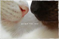ピンクvs黒 鼻の色 ピンク pink สีชมพู 黒 black สีดำ 鼻 nose จมูก 色 color สี 猫 カオマニー オッドアイ cat khaomanee oddeyes แมว ไทย ขาวมณี シャム タイ 原種 Siamese Thailand วิเชียรมาศ