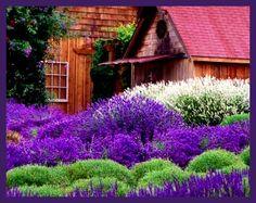 Purple Haze Lavender Farm, Sequim, Washington ♥